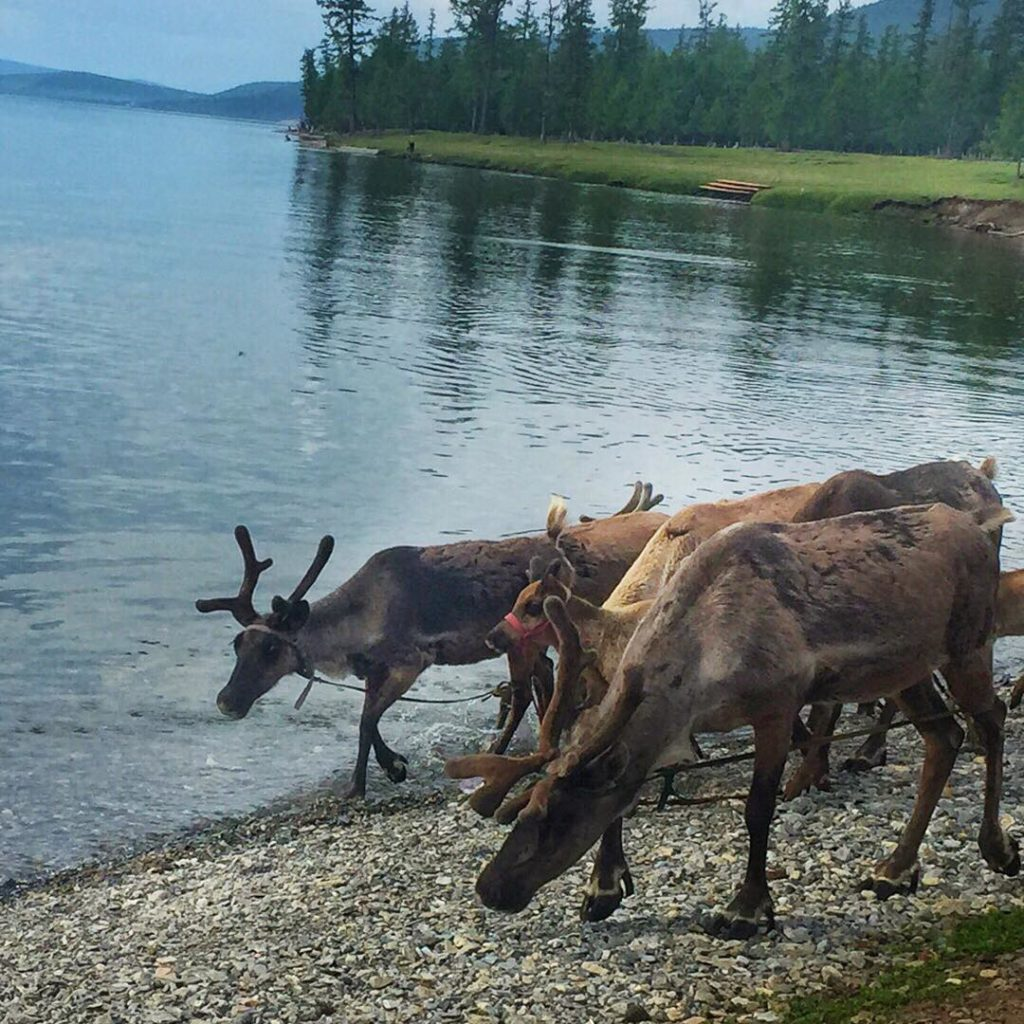 Travel to Mongolia - Reindeer getting hydrated