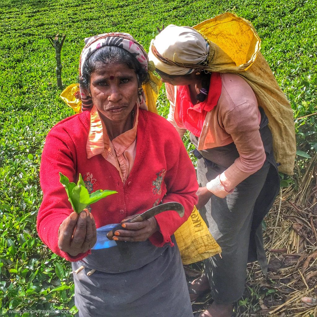 SriLanka tour package - Working hard in the tea plantations!