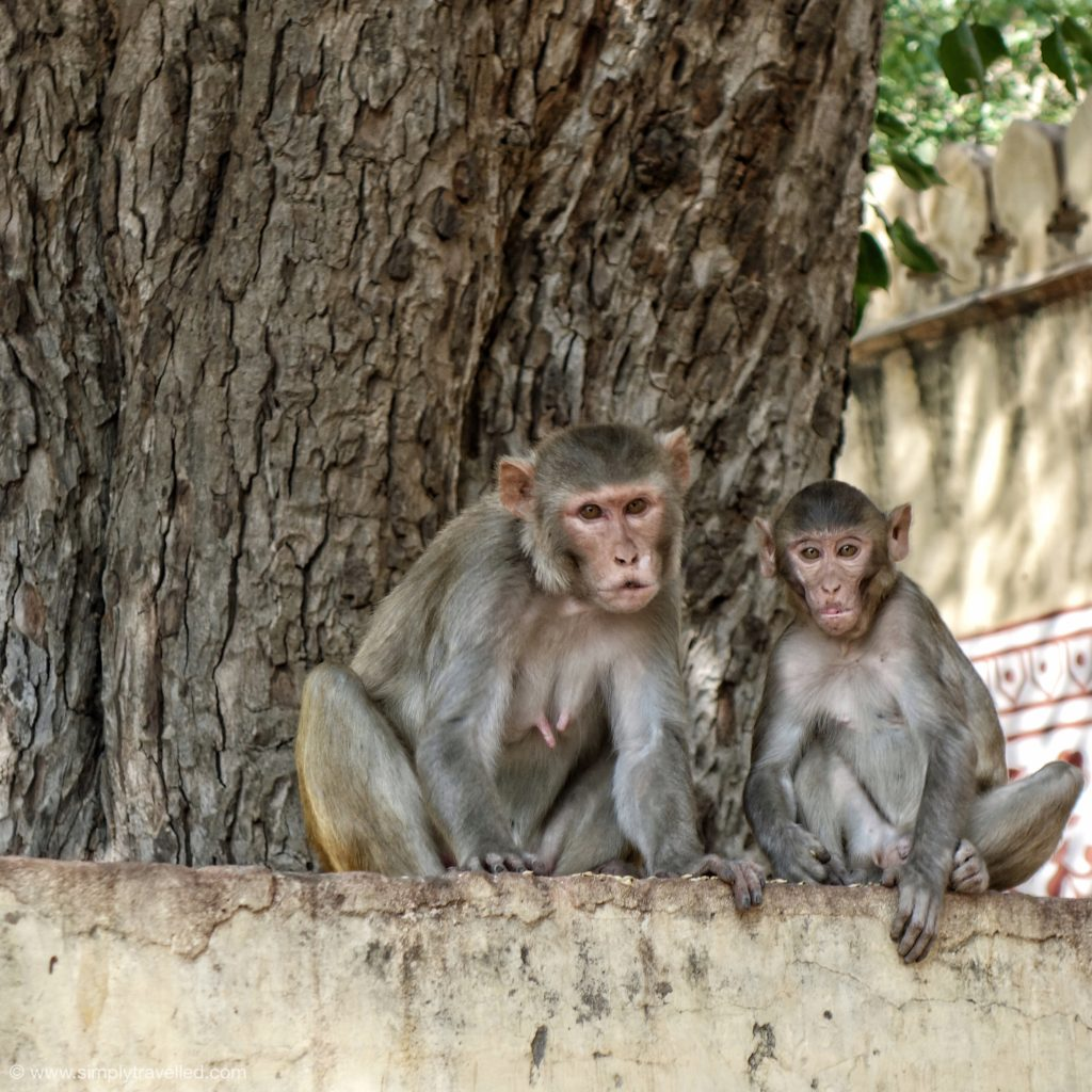 why visit India - Don't monkey around with your Indian visa!