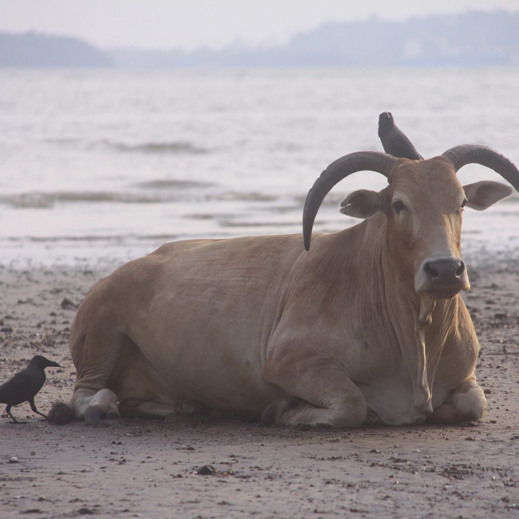 Life in Goa India - Of course the are cows on the beach - it's India!